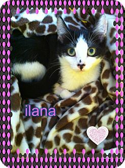 Los Angeles Ca Domestic Shorthair Meet Ilana A Kitten For
