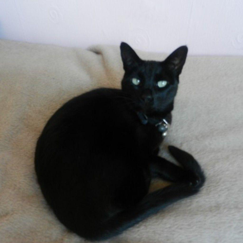 Black Siamese Cat World Of Animal