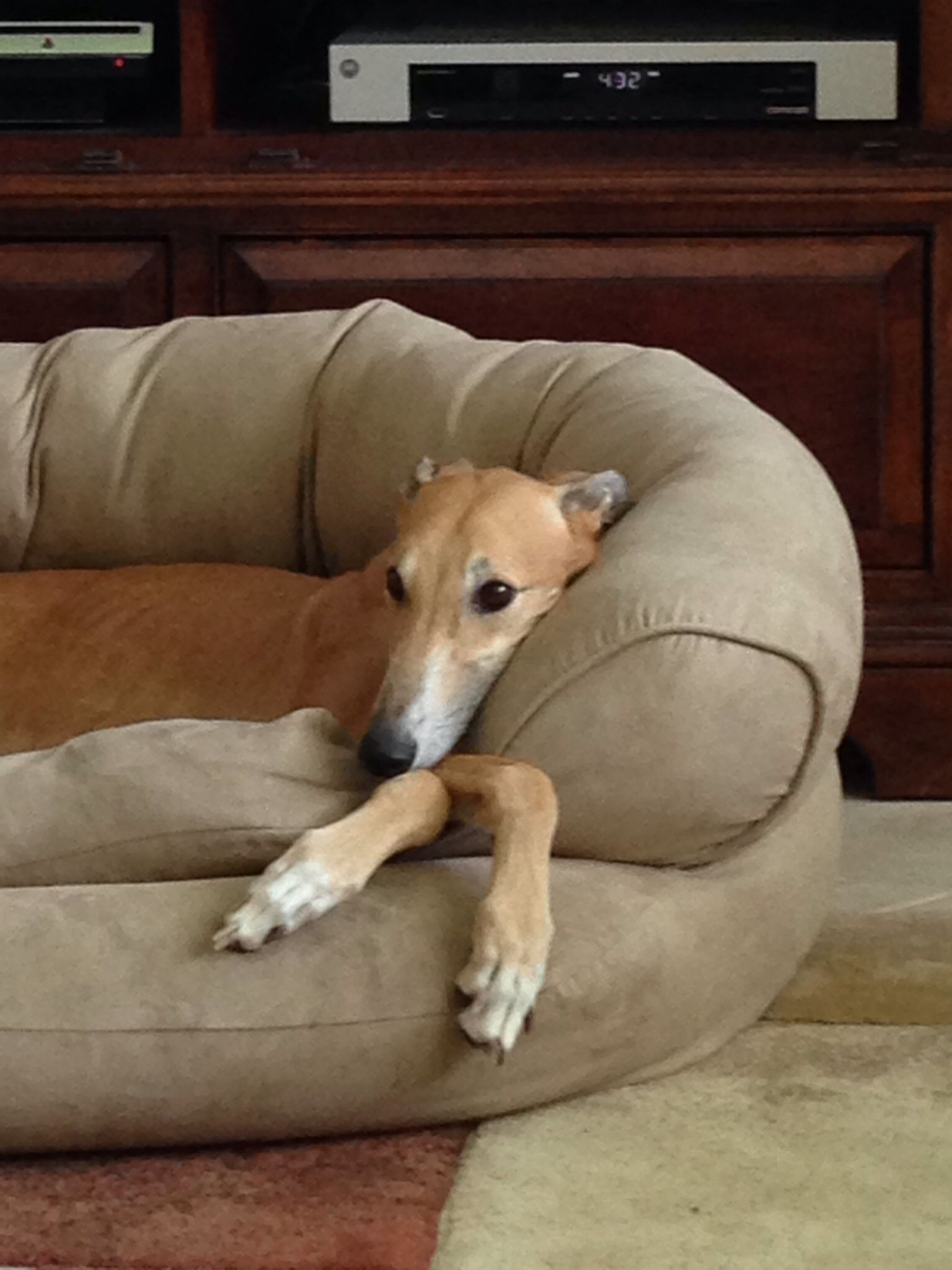 Our Brianna Dog bed, Pets, Whippet