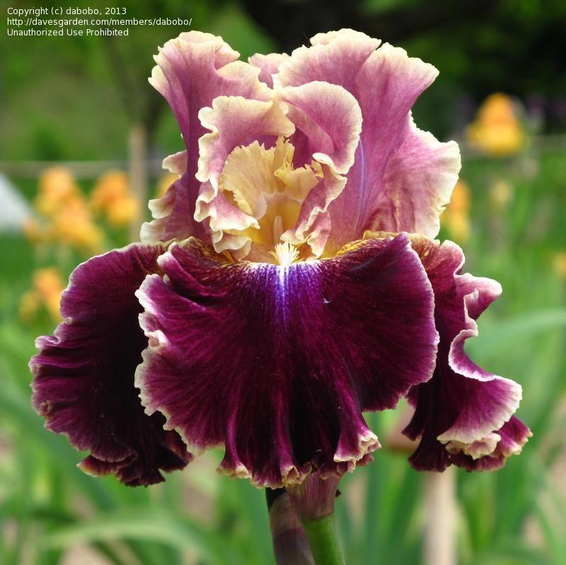 Plantfiles Picture 7 Of Tall Bearded Iris Montmartre Iris Iris Flowers Iris Garden Bearded Iris