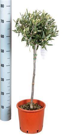 stunning house plants delivered. Stunning thick stem Olive Tree  Ideal Gift for homes Large Indoor PlantsPlants DeliveredGifts