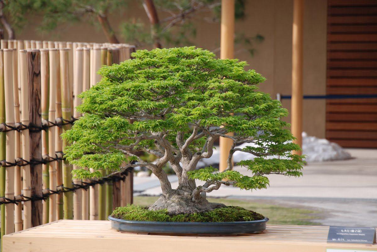 фото дерева китай рулит