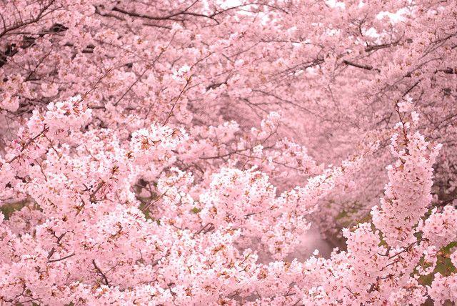 Cherry Blossoms Cherry Blossom Festival Japanese Cherry Blossom Japanese Cherry Tree