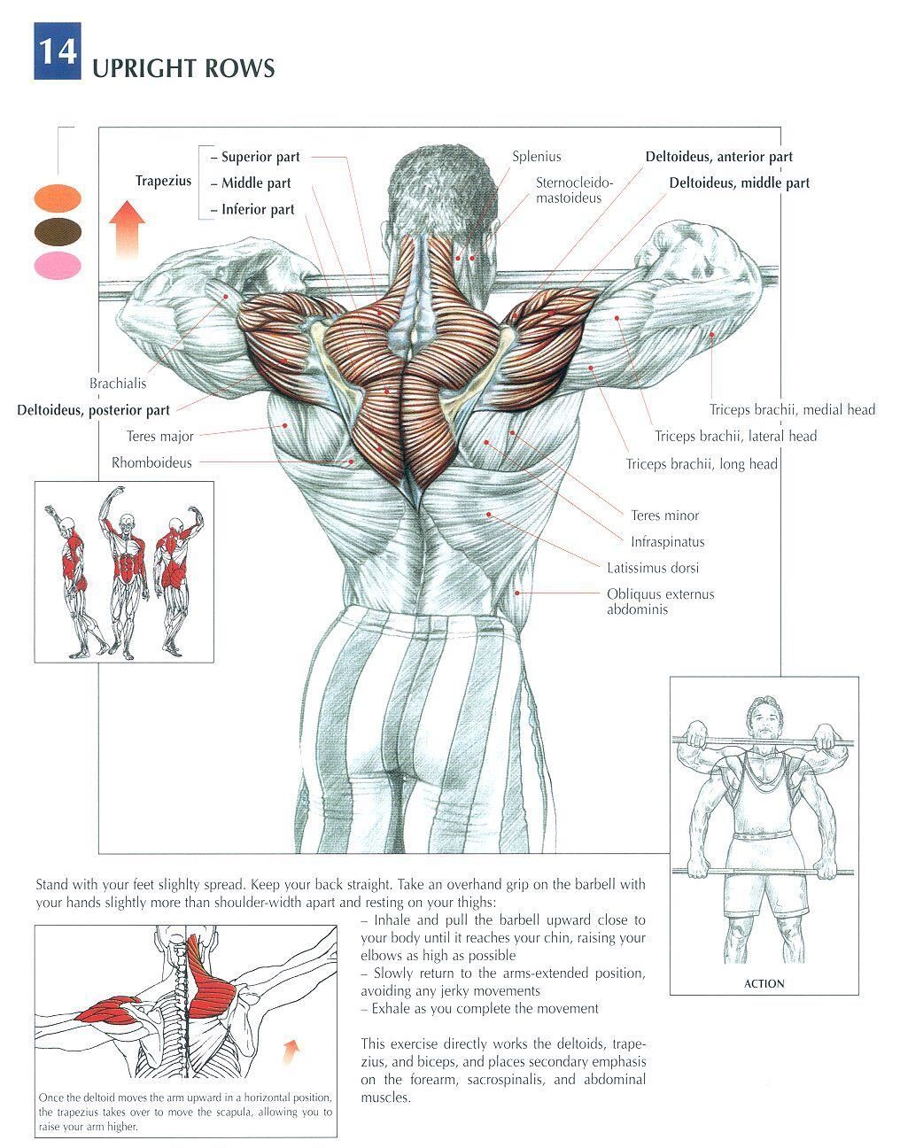 medium resolution of upright rows health fitness exercises diagrams body muscles gym bodybuilding back