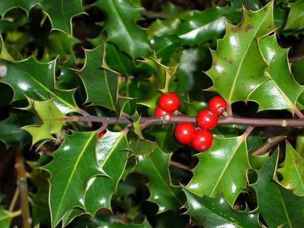 Le piante di Natale - Clicca sulla foto per informazioni Christmas