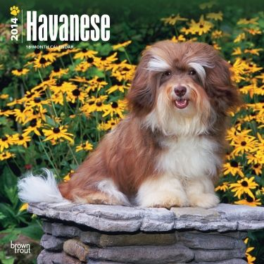 Havenese Havanese Havanese Puppies Havanese Dogs