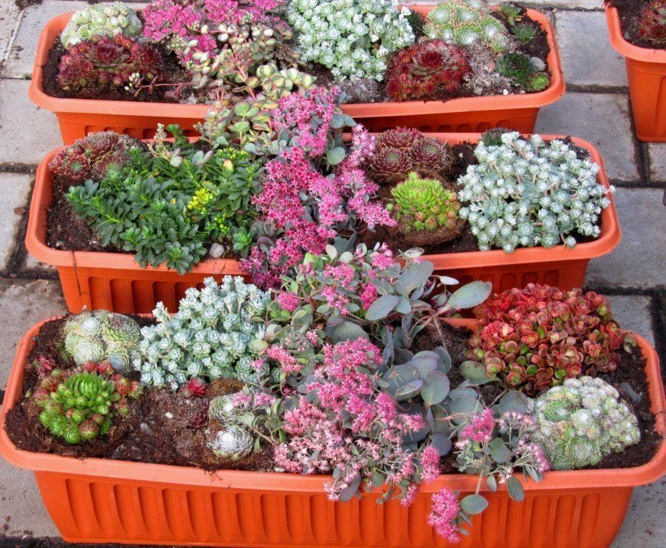 Bepflanzter Balkonkasten 60 cm Sedum wintergrün - Pflanzen Versand Harro's Pflanzenwelt kaufen bestellen online