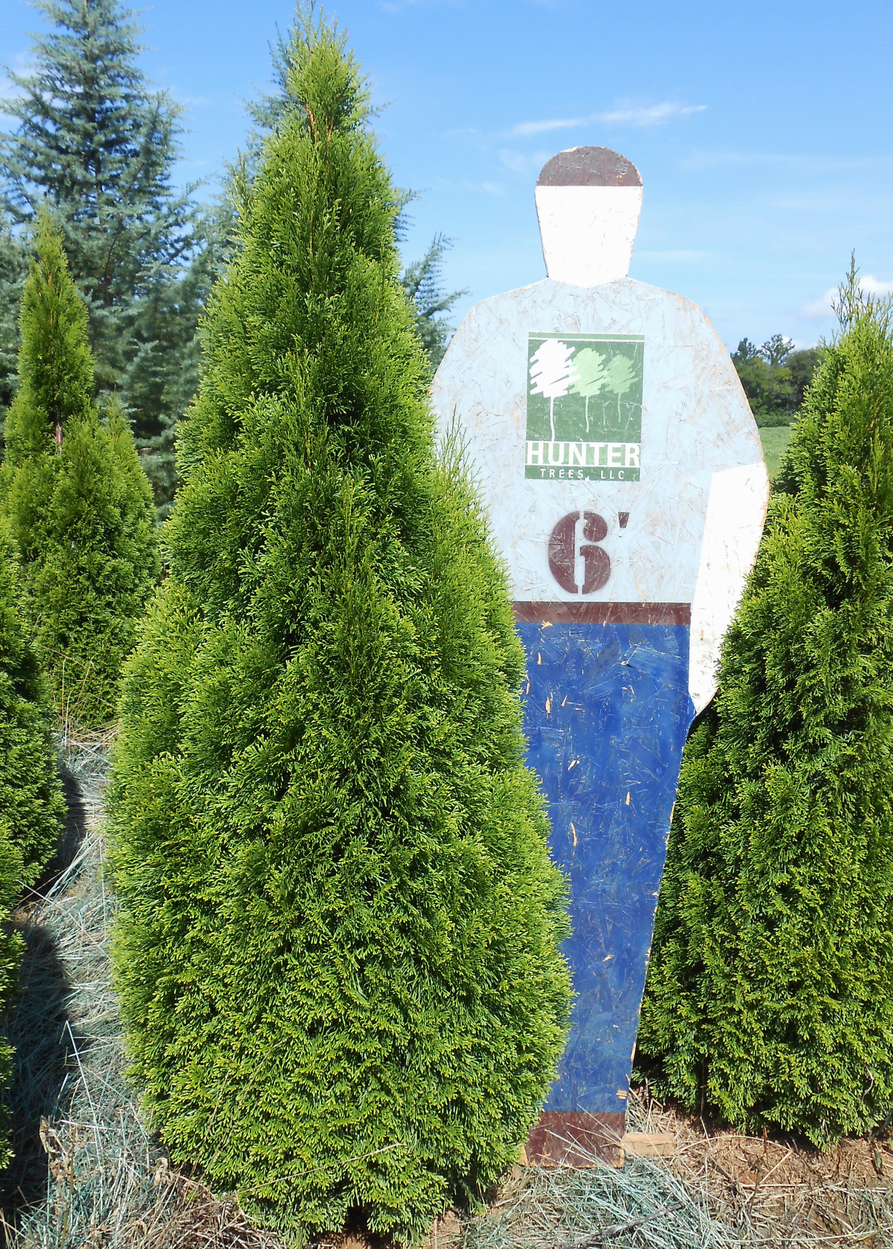 Emerald Green Arborvitae   Small Growing, Columnar Evergreen With Emerald  Green Foliage. Popular As An Accent Plant On Foundations And In Formal  Gardens