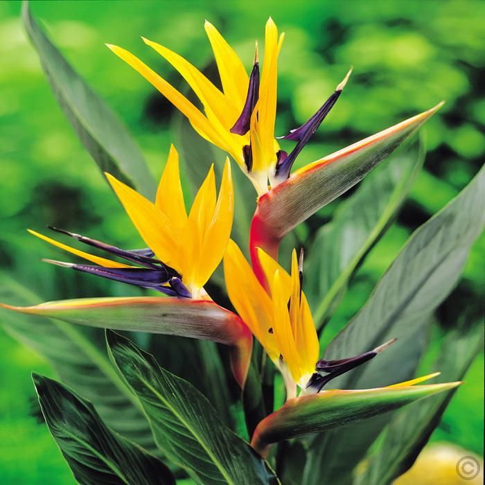 Strelitzia Plant Bird Of Paradise 1 Plant Buy Online Order Yours Now Plants Strelitzia Plant Bulb Flowers