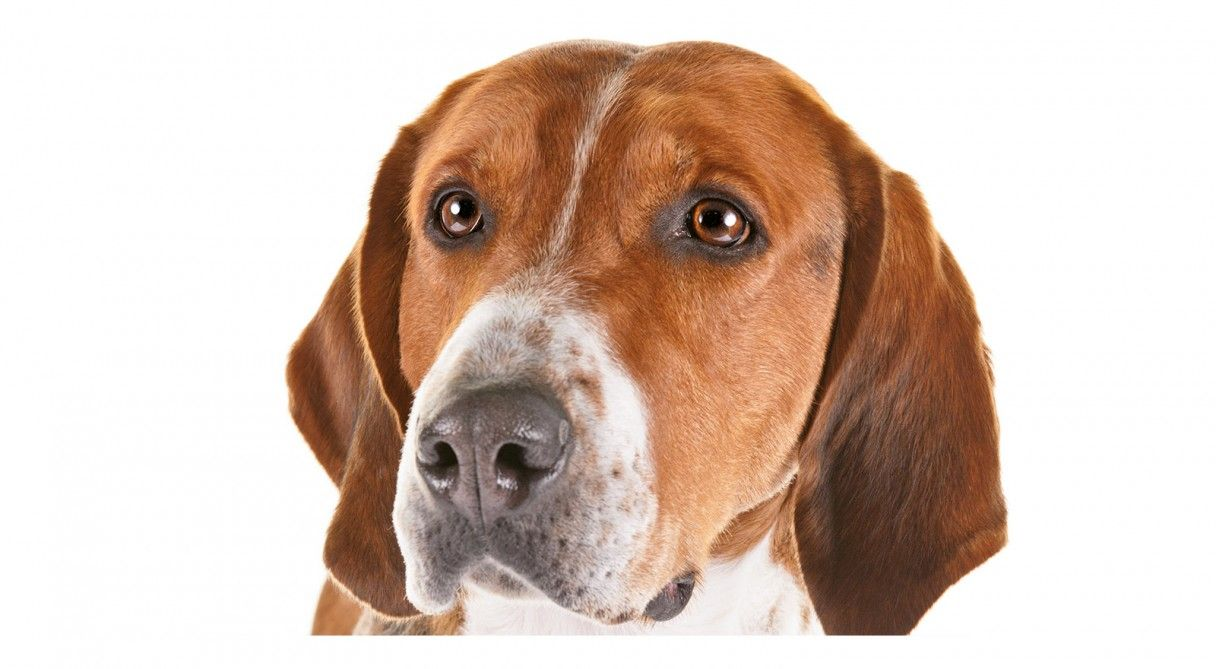 English Foxhound Dog Breed Information | English foxhound ...