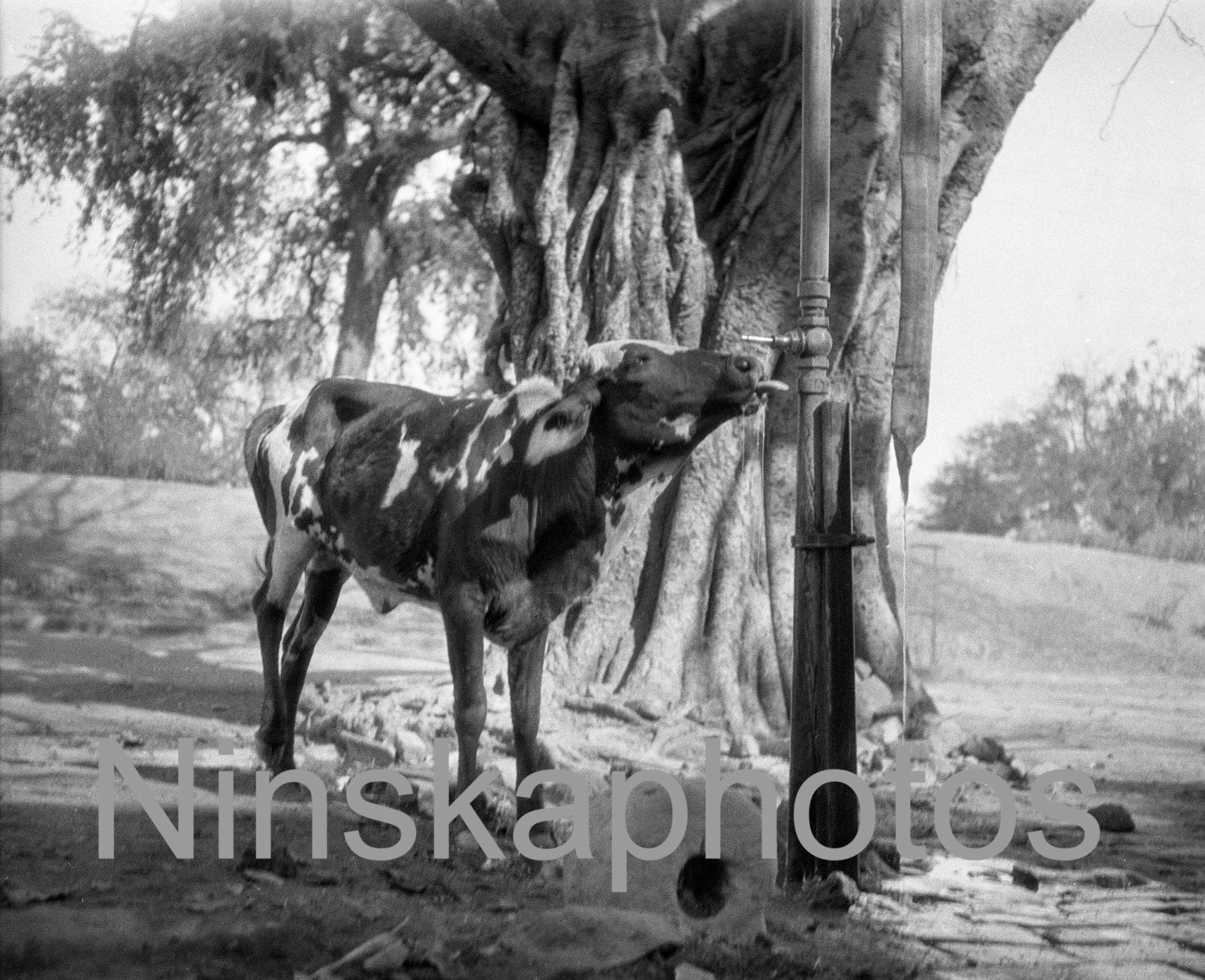 Cow drinking from the tap, Delhi, India, by J. Dearden Holmes, 1920s antique photo reprint, vintage photo, Animal photo, animal art by Ninskaphotos on Etsy https://www.etsy.com/uk/listing/385180718/cow-drinking-from-the-tap-delhi-india-by