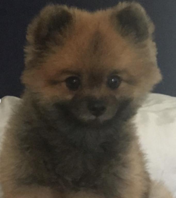 Name Of Pet Jack Breed Pomeranian Color Brown Gender