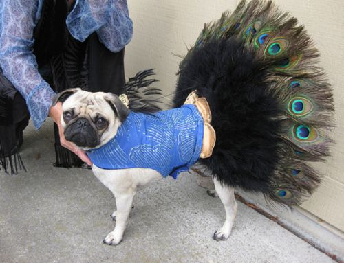 Peacock Pug When The Pug Tail Curl Just Isn T Enough Ha