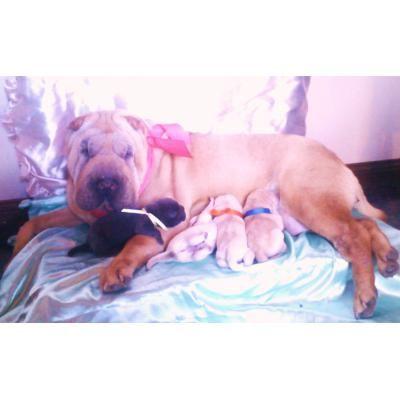 Shar Peis crema-azul-leonado con pedigree F.C.A y libreta sanitaria http://neuquencapital.anunico.com.ar/aviso-de/animales_mascotas/shar_peis_crema_azul_leonado_con_pedigree_f_c_a_y_libreta_sanitaria-8209583.html
