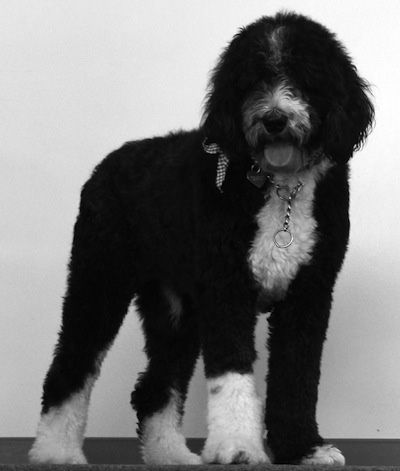 Ferguson The Sheepadoodle At 2 Years Old Poodle Mix Breeds