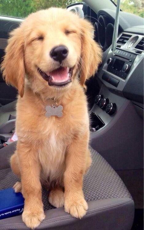 Happy Golden Retriever Puppy Dogs Cute Animals Baby Animals