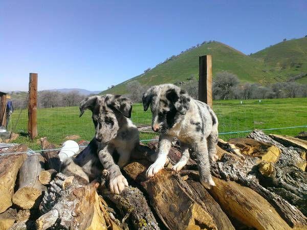 Border/catahoula pups Catahoula, Border collie, Cute animals