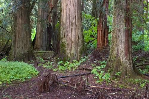 Grove of the Patriarchs in Mt. Ranier, Washington State. Awesome.