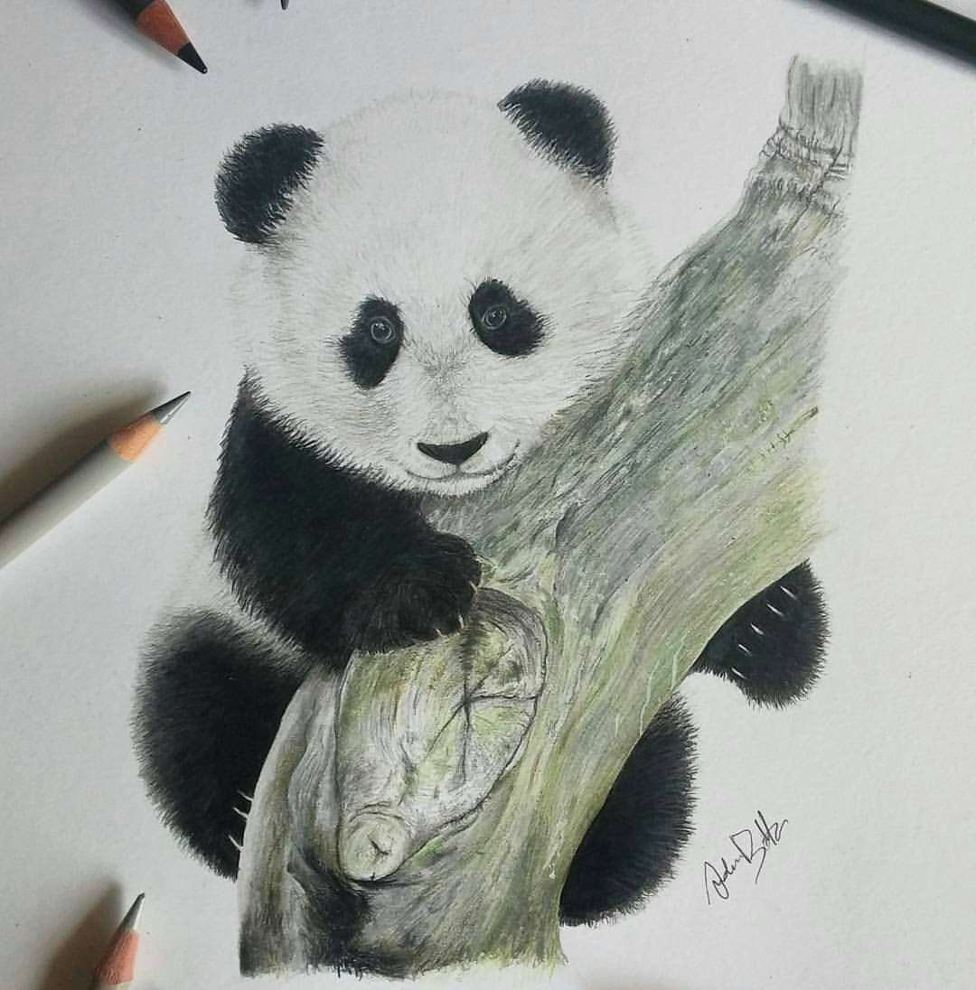 Panda pencil drawing by artist a bottaro art supportartists
