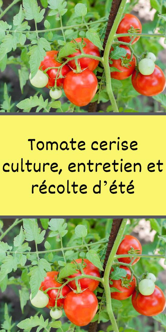 Tomate cerise culture, entretien et récolte d'été en