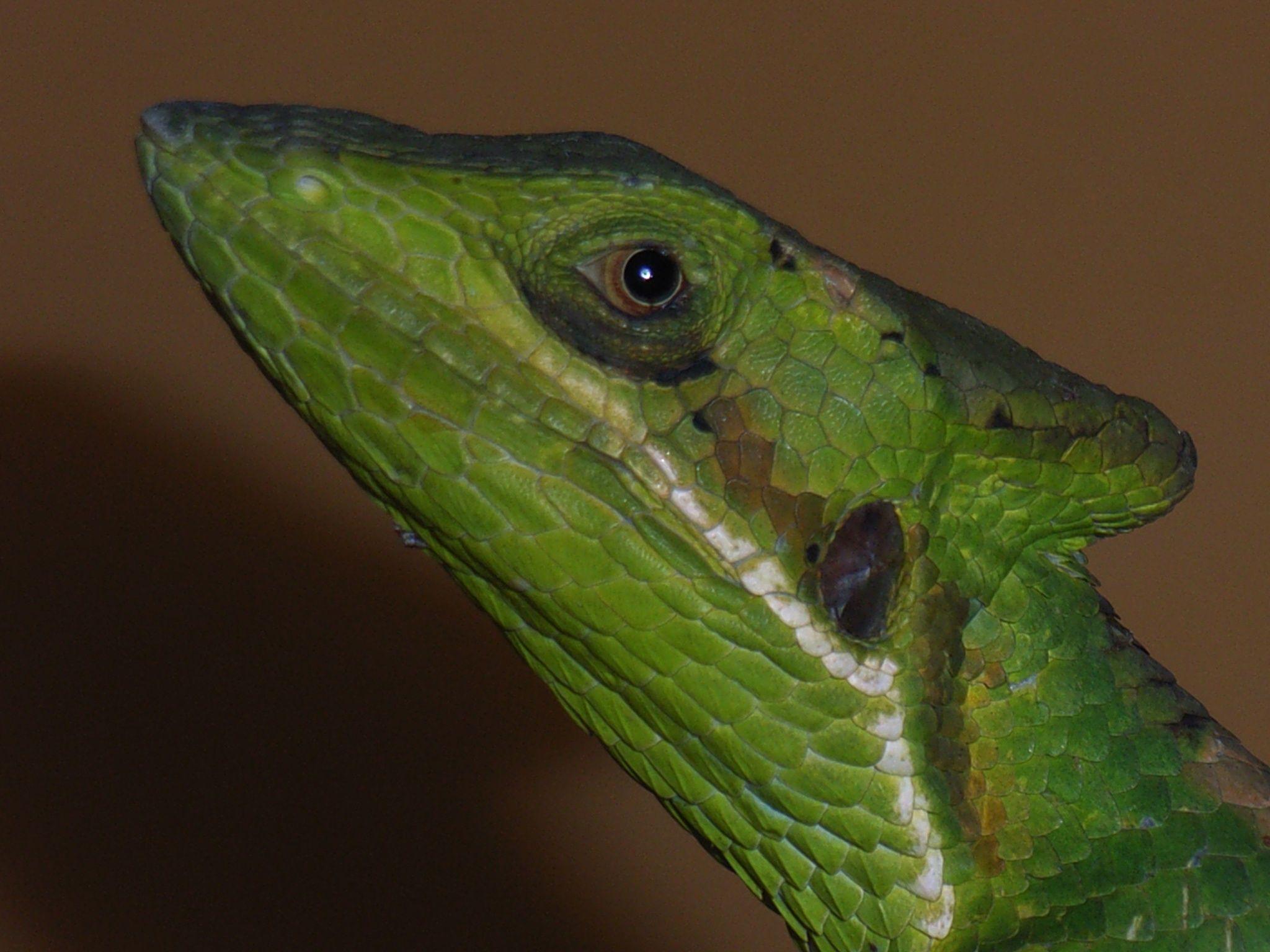 Kronenbasilisk Laemanctus longipes by Andrea Janitzki on