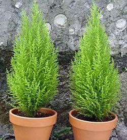Peque os cipreses mientras crecen se los puede dejar como - Arboles decorativos ...