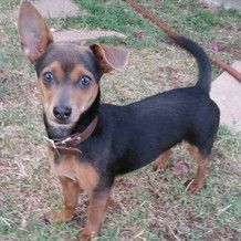 Adopt A Dog Dachshund Mix Manchester Terrier Olive Oyl