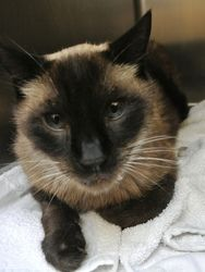 Lotus Is An Adoptable Siamese Cat In Seattle Wa Lotus Is A Gentle Affectionate Fellow Who D Like To Join A Home With Some Cat Expe Siamese Cats Cats Animals