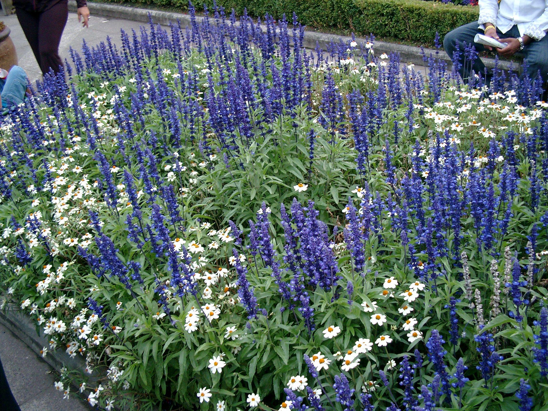 Salvia And Shasta Daisy Or Chamomile Garden Delights 400 x 300