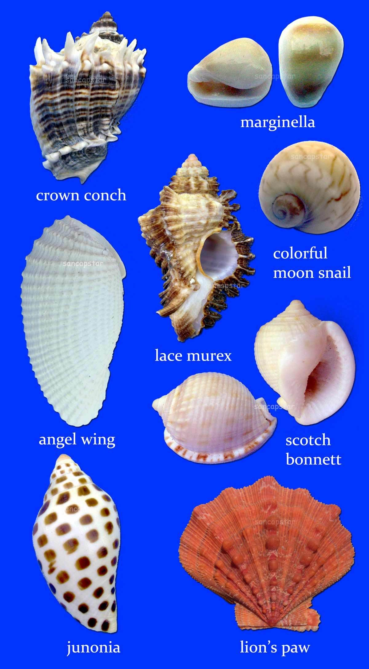 Shell Identification Guide Sea Shells Shells Seashell Crafts