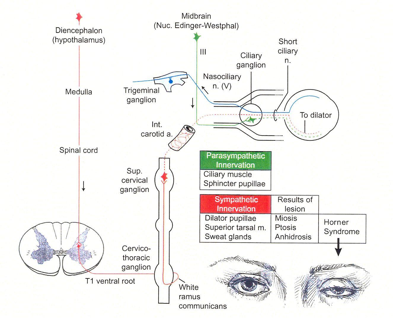 Brainstem Cranial Nerve Nuclei Instaanatomy