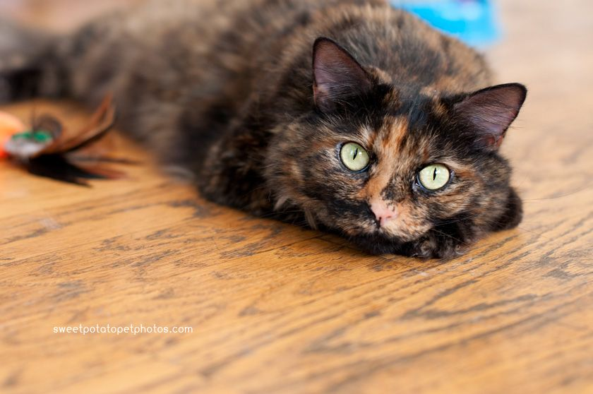 Long Haired Tortoiseshell Cats Tortoise Shell Cat Cats Crazy Cats