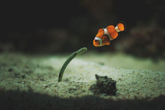 Sólo un pez payaso conversando con una anguila de jardín En esta fotografía se puede ver un ejemplar de pez payaso (Amphiprion ocellaris) que parece estar conversando con una anguila de jardín (Heteroconger hassi).