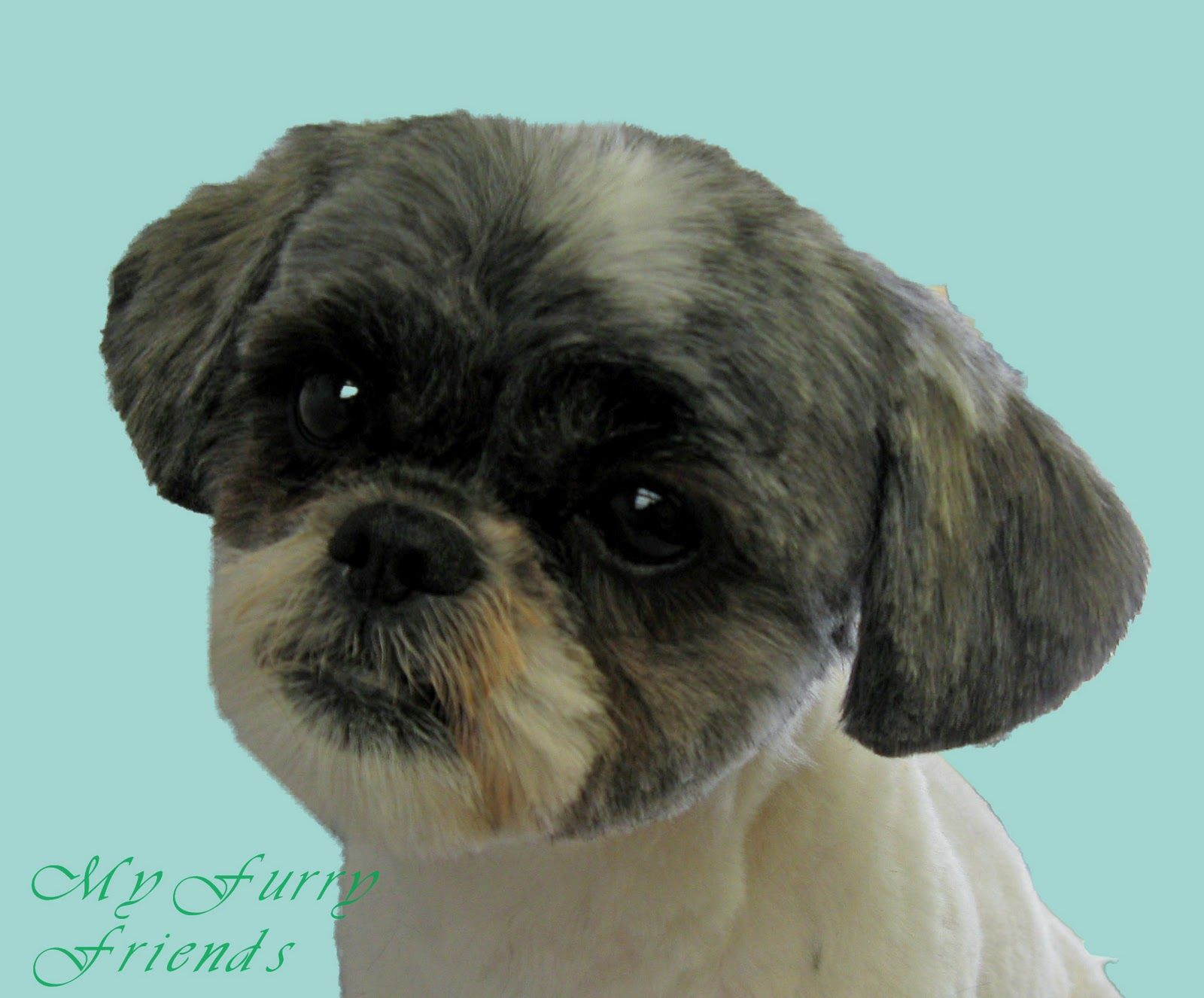 I Groom A Lot Of Shih Tzu S So Many Owners Come In Not Really Knowing What They Want Or They Know How They Want Shih Tzu Grooming Shih Tzu Haircuts Shih Tzu