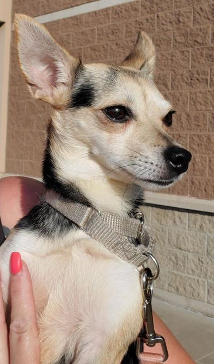 Lost Dog Kimball Chihuahua Female Date Lost 08 02 2019 Dog S Name Madonna Breed Of Dog Chihuahua Mix Gender Female Closest I Losing A Dog Dog Ages Dogs
