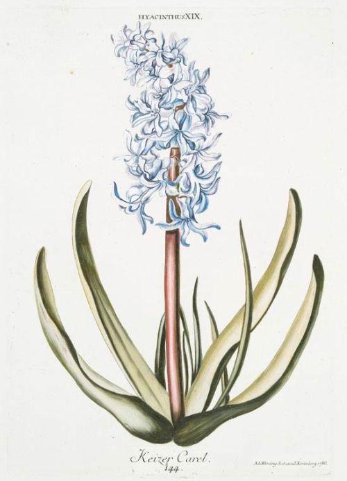 'Keizer Carel' Hyacinth (1768-1786) by Georg Dionysius Ehret (1708-1770 ). Hand-coloured engraving. Source - Der das ganze Jahr hindruch im schönsten Flor stehende Blumengarten, oder Abbildungen der lieblichsten Blumen Image and text courtesy NYPL Digital Gallery.