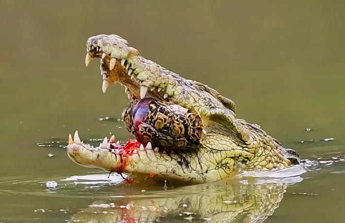 Giant crocodile eating my publisher.   My book covers   Pinterest ...