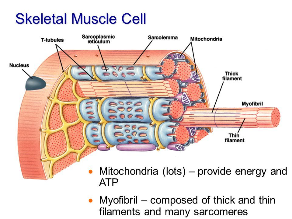 Outstanding Skeletal Muscle Cell Diagram Ideas Human Anatomy
