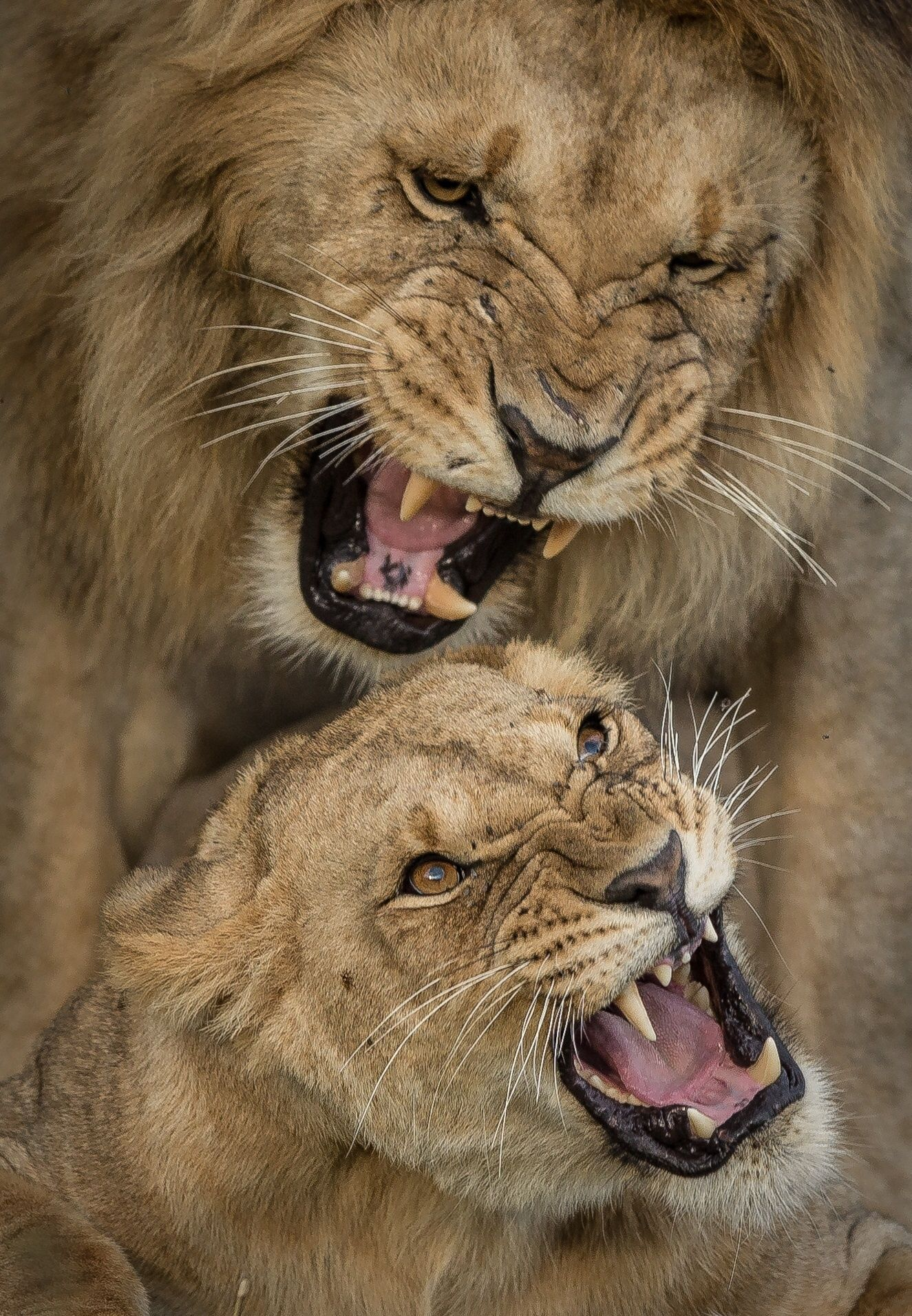 Angry Lions by Hamad Alkaabi on 500px