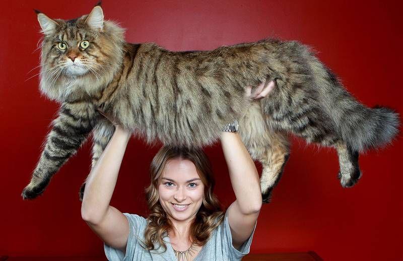 REDIG BIT. Det krävs lite armstyrka för mattes dotter Natalie Chettle att lyfta nio kilo Rupert. Den prisbelönta Maine coon-katten väntas lägga på sig ytterligare några kilo innan han är fullvuxen.