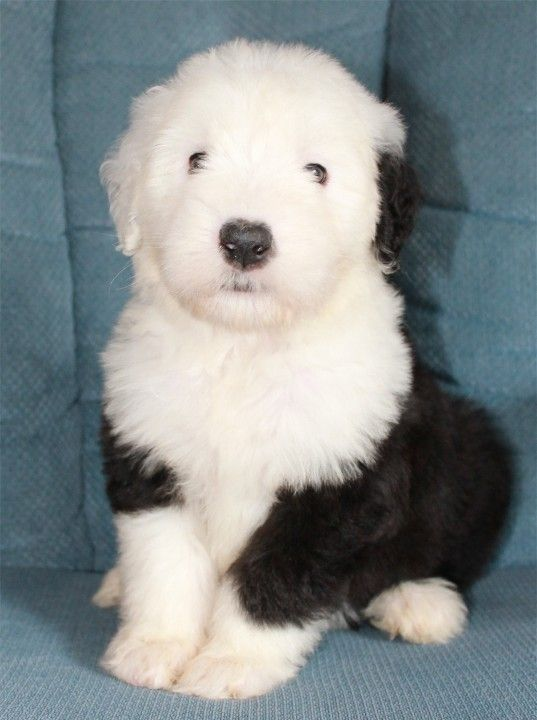 Paws Up North: Old English Sheepdog Breeder   I am such a