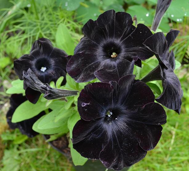 Black Velvet Petunia Photo Soozes Pixabay In 2020 Black Flowers Halloween Garden Petunia Flower