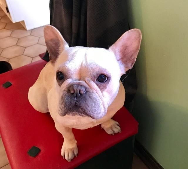 Adopt Zoey On Dogs To Rescue French Bulldog French Bulldog