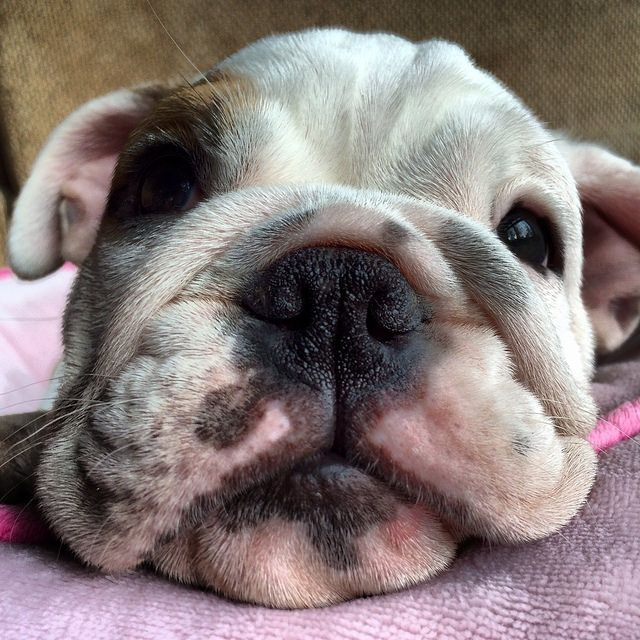 Cleaning English Bulldog Puppy Wrinkles