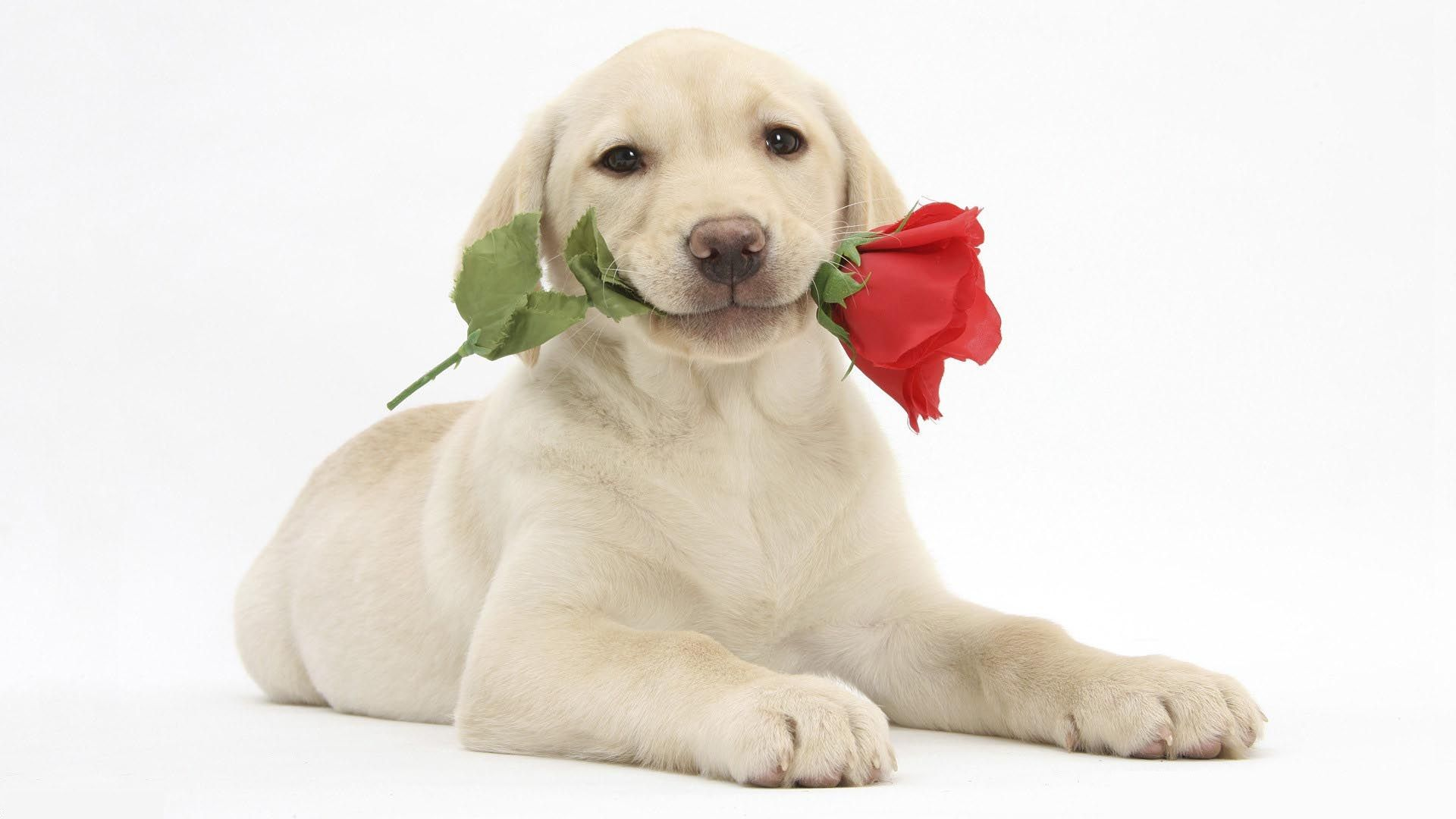 Cute Dog And Rose In Mouth Amazing Hd Wallpapers Rocks Labrador Retriever Puppies Yellow Labrador Retriever Labrador