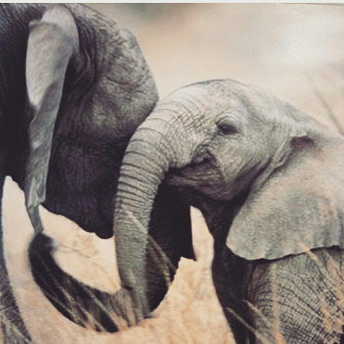 From : @elephants_of_insta - - . . For info about promoting your elephant art or crafts send me a direct message @elephant.gifts or email elephantgifts@outlook.com . Follow @elephant.gifts for beautiful and inspiring elephant images and videos every day! . #elephant #elephants #elephantlove