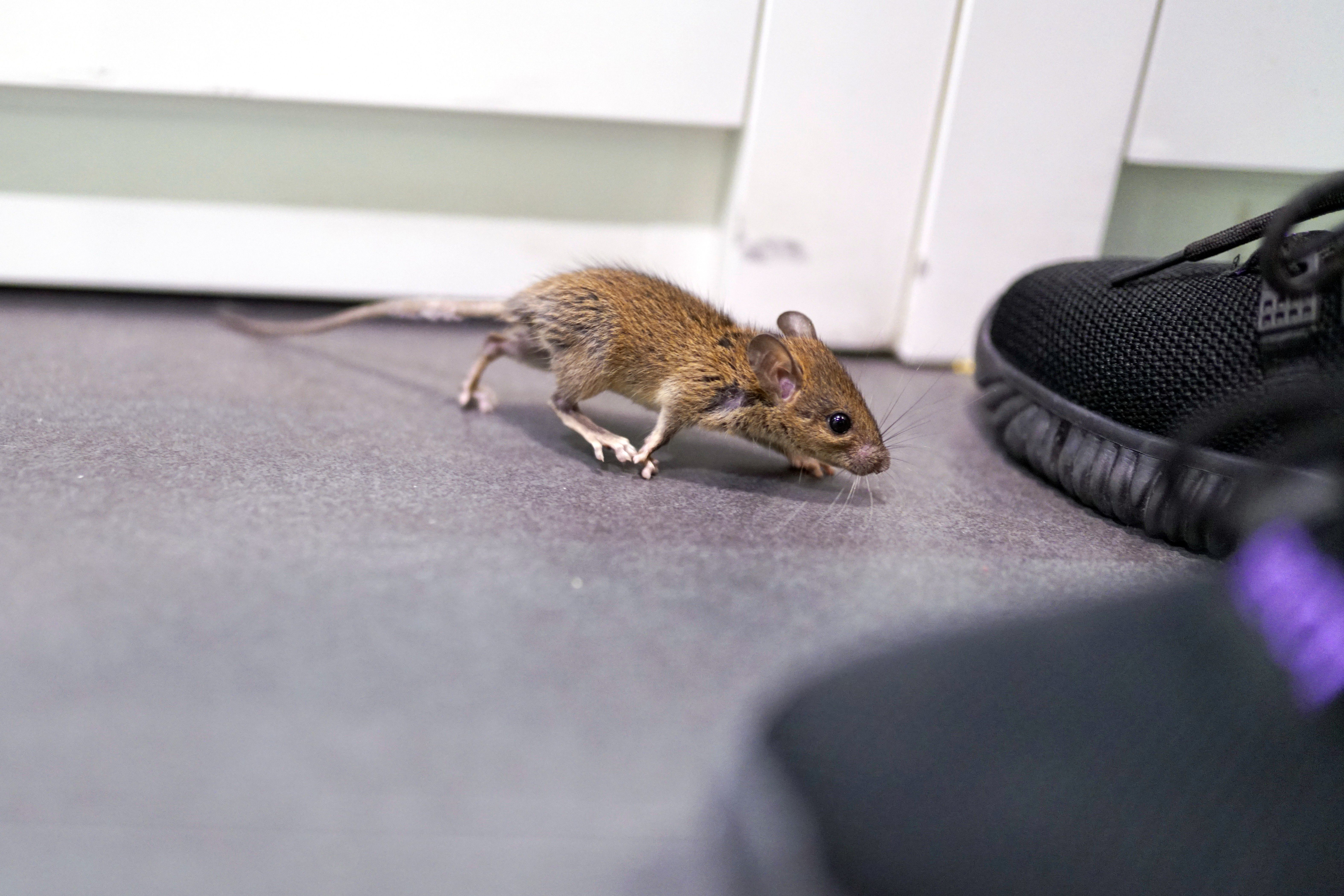How to get rid of mice in the garage in 2020 getting rid