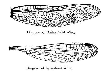 From Wikiwand Dragonfly Top And Damselfly Bottom Wing Shape And Venation Damselfly Dragonfly Wings Giant Dragonfly