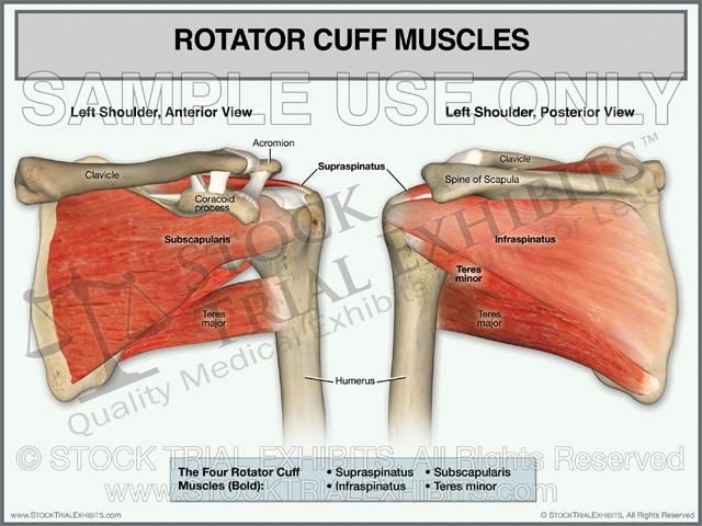 Rotator Cuff Muscles Of The Left Shoulder Stock Trial Exhibits