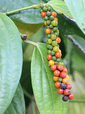 Piper Nigrum Black Pepper Plants Black Pepper Plant Pepper